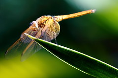 The Veil (grass-lifeisgood) Tags: life wild plant macro nature closeup canon bug garden insect eos veil dragonfly 100mm ef 6d f28l
