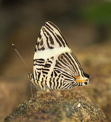 Colobura dirce - Dirce Beauty - Mosaic - Zebra Mosaic (Roger Wasley) Tags: mosaicbutterfly coloburadirce dircebeauty zebramosaicbutterfly