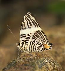 Colobura dirce - Dirce Beauty - Mosaic - Zebra Mosaic (Roger Wasley) Tags: mosaicbutterfly coloburadirce dircebeauty zebramosaicbutterfly