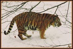 """Traversing The Territory!"" (Wolverine09J) Tags: tigers amazingnature zoowildlife wildlifeportraits naturestyle wildlifeaward naturesprime blinkagain naturespotofgoldlevel1 artselcectedbyadministrators winterwildlifescenes"