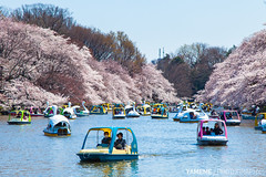 Traffic Jam / Tokyo, Japan (yameme) Tags: travel flowers nature japan canon eos tokyo  sakura cherryblossoms  mitaka    inokashirapark   musashino  24105mmlis  5dmarkii 5d2