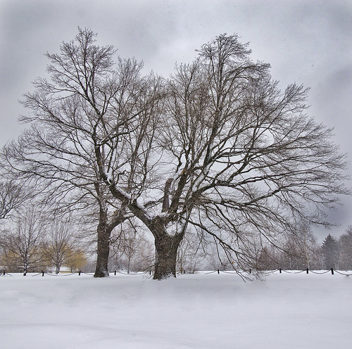 The Old Oak in Winter