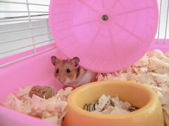 """Mamãe, estou aqui"" ♥ (Lelê Flores) Tags: pink cute love animals days hamster 365 rato 365days 365daysproject 365dias 365daysofcute 365dayscute"