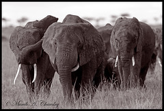 Gentle Giants (MAC's Wild Pixels) Tags: kenya ngc elephants masaimara naturesfinest gentlegiants herdofelephants goldwildlife naturesgreenpeace hennysanimals allnaturesparadise allofnatureswildlifelevel1 allofnatureswildlifelevel2 allofnatureswildlifelevel3 macswildpixels