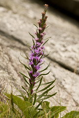 Liatris helleri (Heller's blazing star) (KeithABradley) Tags: mountains flower native northcarolina places endangered wildflower endemic herb asteraceae blueridgemountains grandfathermountain threatened dicots endangeredspeciesact highelevation liatrishelleri hellersblazingstar