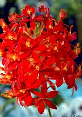 Brilliant Orchid Fireworks (Annette LeDuff) Tags: orchid flower flora orchidaceae favorited orangeyellow specialphoto perfectpetals redrubyslippers orchidamazingflower flowerorfoliagedetails top25red flowerbudsandblossoms flickrsawesomeblossoms croquenature lapetitegalerie unforgettableflowers favoritenaturalcolorslights lenguajedelasflores lejardindesdelices fleursetpaysages fleursdemoncoeur floraaroundtheworld floralaromas oceansoftalent fleursdetoncoeur photoannetteleduff annetteleduff eblouissantenaturebrilliantnature onlyorchids redtopazletopazedurouge fleursjevousaime dansmonjardindhiverpourvotreété chromophilecrew ourwonderfulandfragileworld madaboutflowers quintaflower♦104ºconc♦amelhorfotodaquinzena 02072013 orchids~allorchids~onlyorchids