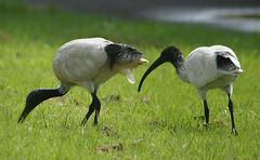 Ibis (judith511) Tags: ibis naturethroughthelens