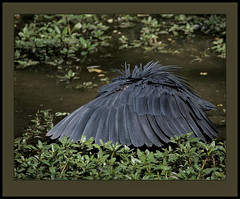 The dark side of fishing! (Rainbirder) Tags: thegambia abuko blackheron egrettaardesiaca blackegret rainbirder