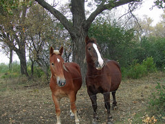 A Young Freddie Mac and Tootsie (Roofer 1) Tags: mare belgian workhorse tootsie gelding freddiemac