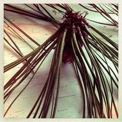 """Pine needles • <a style=""""font-size:0.8em;"""" href=""""https://www.flickr.com/photos/61640076@N04/8492127435/"""" target=""""_blank"""">View on Flickr</a>"""
