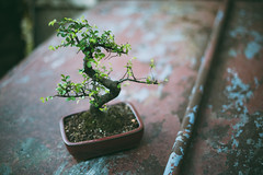 Bonsai (explored) (.monodrift) Tags: tree nikon small chinese adorable mini bonsai elm