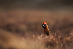 Red Grouse (Daniel Trim) Tags: winter red game nature birds canon scotland highlands wildlife grouse scottish moor birdwatching moorland the redgrouse birdphotography lagopus scotica canon500mmf4 canon1dmarkiv canon1dmark4