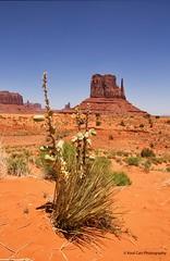 Desert Flora (Kool Cats Photography over 9 Million Views) Tags: travel arizona cactus flower nature flora geology navajo monumentvalley navajoreservation geological cactusflower navajotribalpark geologicalformation travelarizona canont3i sigma1770mmf284dcmacrooshsmlens