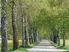 Do you still know the fresh green of spring ~ EXPLORE (dorena-wm) Tags: tree green way spring alley path may explore mai birch grn baum 2012 weg frhling birke allee 2011 isny dslra550 dorenawm