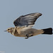 Desert wheatear (female) 0959