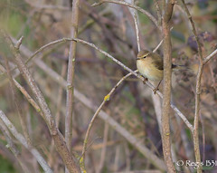 Vloce (Rgis B 31) Tags: bird oiseau commonchiffchaff phylloscopuscollybita calmont pouillotvloce passriformes domainedesoiseaux phylloscopids