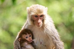 Rhesus Macaque (Macaca mulatta) (piazzi1969) Tags: rhesusmacaque mammals primates monkeys macacamulatta india corbett wildlife fauna 40d nature avifauna affen ef100400mm asia baby motherwithbaby