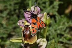 Zygaena y ophrys (alcedofoto.) Tags: