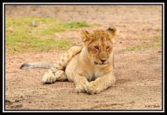 LION CUBS IN DEEP THOUGHTS (Panthera leo)....MASAI MARA.....OCT 2012 (M Z Malik) Tags: africa nikon leo kenya wildlife ngc safari npc masaimara keekoroklodge d3x flickrbigcats exoticafricancats exoticafricanwildlife 200400mm14afs