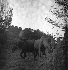 Cavalli, Monterano (RM) (paurizio d) Tags: camera old trees sky horses blackandwhite bw italy rome tlr film monochrome grass clouds analog reflex ruins cloudy twin lubitel vegetation analogue cloudporn believeinfilm