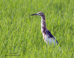 Indian Pond Heron or Paddybird (Ardeola grayii) (gary1844) Tags: heron pond or indian paddybird ardeola grayii