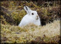 Mountain Hare (Ally.Kemp) Tags: winter white mountain scotland highlands hare wildlife coat scottish glen