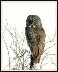 Great Gray Owl (cminer52) Tags: wisconsin owl greatgrayowl wisconsinwildlife burdr