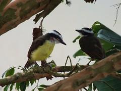 DSCF0066 (LiuRibeiro) Tags: bird pssaros bentivi