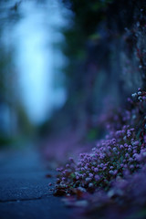 L1011629 (toystore01kkk) Tags: life leica autumn flower japan 50mm kyoto arts     cosmos m9   2011 095  leicam9  leicanoctilux50mmf095