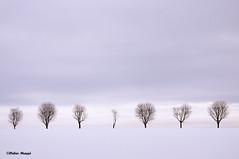 Rangée d'arbres en hiver (didier95) Tags: hiver arbres neige paysage campagne vexin arbresenhiver fabuleuse parcnaturelduvexin