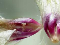 El beso de la Primavera (para ver la serie completa id al primer comentario) (Caricola) Tags: naturaleza primavera amor danza amistad placer belleza besos sensualidad contacto delicadeza calidez caricola