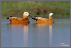 Surkhaab (Faizan Khan) Tags: india nature birds photography wildlife indore faizan madhyapradesh birdphotography brahminyduck ruddyshelducks faizankhan wwwfaizankhancom surkhaab photographerinindore