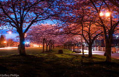 [Explored] Alone With The Blossoms (Jeffery P.) Tags: oregon portland cherry blossoms bluehour waterfrontpark tommccall