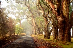 Autumn has finally arrived (phunnyfotos) Tags: road morning autumn trees weather fog nikon day foggy australia victoria eucalypt vic eucalyptus gumtree eucalypts gravelroad gippsland warragul gumtrees d5100 nikond5100 phunnyfotos