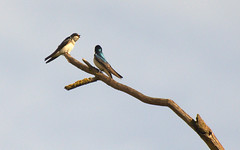 Tree Swallows (hharryus) Tags: tree bird nikon branch song pair swallows songbird bicolor tachycinetabicolor chirping d90 twittering