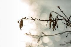 Toward The Light (Daniele Pauletto) Tags: light lake alberi lago bouquet luce rami eupilio segrino