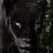 animal park, black jaguar, FAA, Germany, Lens Nikon 70-300mm f-4.5-5.6G IF-ED AF-S VR Nikkor, panther, Schwarzer Jaguar, Stuttgart, Wilhelma.jpg