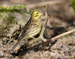 Yellowhammer (Linz27) Tags: bird nikon yellowhammer 300mmf4 14teleconverter d7000
