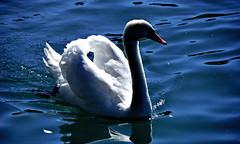 Grce en blanc et bleus (Diegojack) Tags: nikon lac vol lman contrejour cygnes oiseaux mouettes nikonpassion vuachre d7200