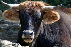 (Px4u by Team Cu29) Tags: kuh cow rind gesicht bullock beef ox maul ohren hrner anschauen