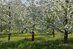 ckuchem-1292 (christine_kuchem) Tags: streuobstwiesenweg streuobstwiese streuobst wiese obstbaum frhling frhjahr blte bltezeit obstbume