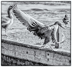 Safe landing at Potter Heigham, Norfolk. (lizzieisdizzy) Tags: monochrome bird duck fly flying landing spread wings feet flapping norfolk heigham potter eastanglia rural countryside pleasant relaxing