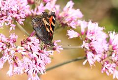 Petite Tortue - Aglais urticae (Yann Brilland) Tags: petitetortue aglaisurticae papillons tortue lpidoptres rhopalocres insectes
