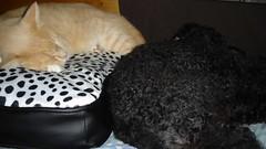 Sunday and Tasha sleeping (David McKelvey) Tags: australia brisbane queensland 2008 sunday tasha