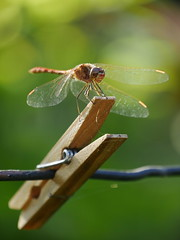 Dragonfly on a clothespeg (un2112) Tags: dragonfly adderfly flyingadder insect arthropod arthropoda clothespin clothespeg summer august panasonicg7 balaton