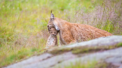Lynx mother carrying her cub (nemi1968) Tags: 8weeksold canon canon5dmarkiii ef100400mmf4556lisiiusm eurasianlynx gaupe langedrag lynx lynxcub lynxkitten markiii norway adorable animal animals bokeh carrying carryingcub carryingkitten cat catfamily closeup cub cute daughter female females grass kitten mother outdoor relaxed straws young specanimal ngc npc