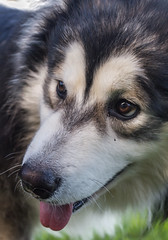 Close-up (vadenet) Tags: face dog malamute alaskan cute