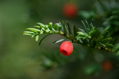 Yew Berry (shaftination) Tags: taxusbaccata yewtreetaxusbaccata berries berry conifer english european evergreen red tree yew paulfarnfieldcom