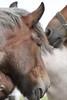 IMG_7728 (Snapshot(wo)man) Tags: rockanje powerhorse trekpaarden