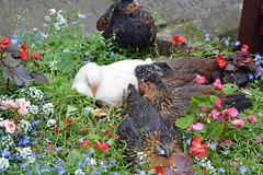 Hens among the bedding plants (Majorshots) Tags: haworth westyorkshire yorkshire stmichaelsandallangelschurch haworthchurch haworthchurchyard hens